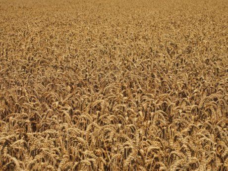 agriculture, cereal, straw, field, summer, wheatfield, seed, grass, outdoor