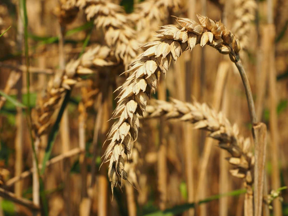 wheatfield, cereal, nature, countryside, field, agriculture, seed