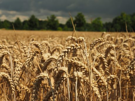 rye, cereal, straw, summer, sunshine, agriculture, field, wheatfield, seed, summer