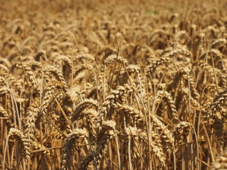 cereal, barley, straw, seed, wheatfield, agriculture, field, sunshine, agriculture, rye
