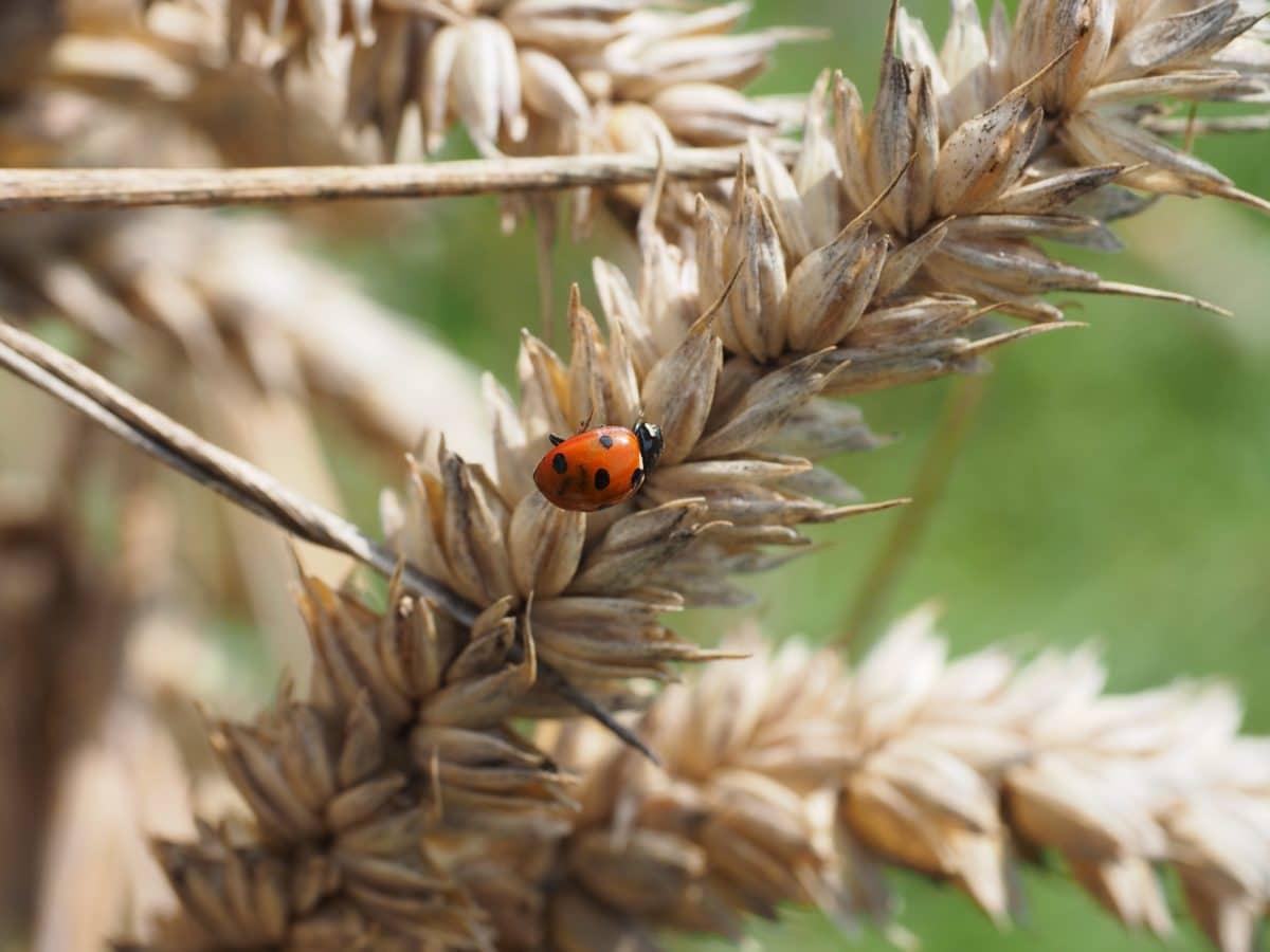 nature, insect, ladybug, beetle, arthropod, bug, plant, invertebrate