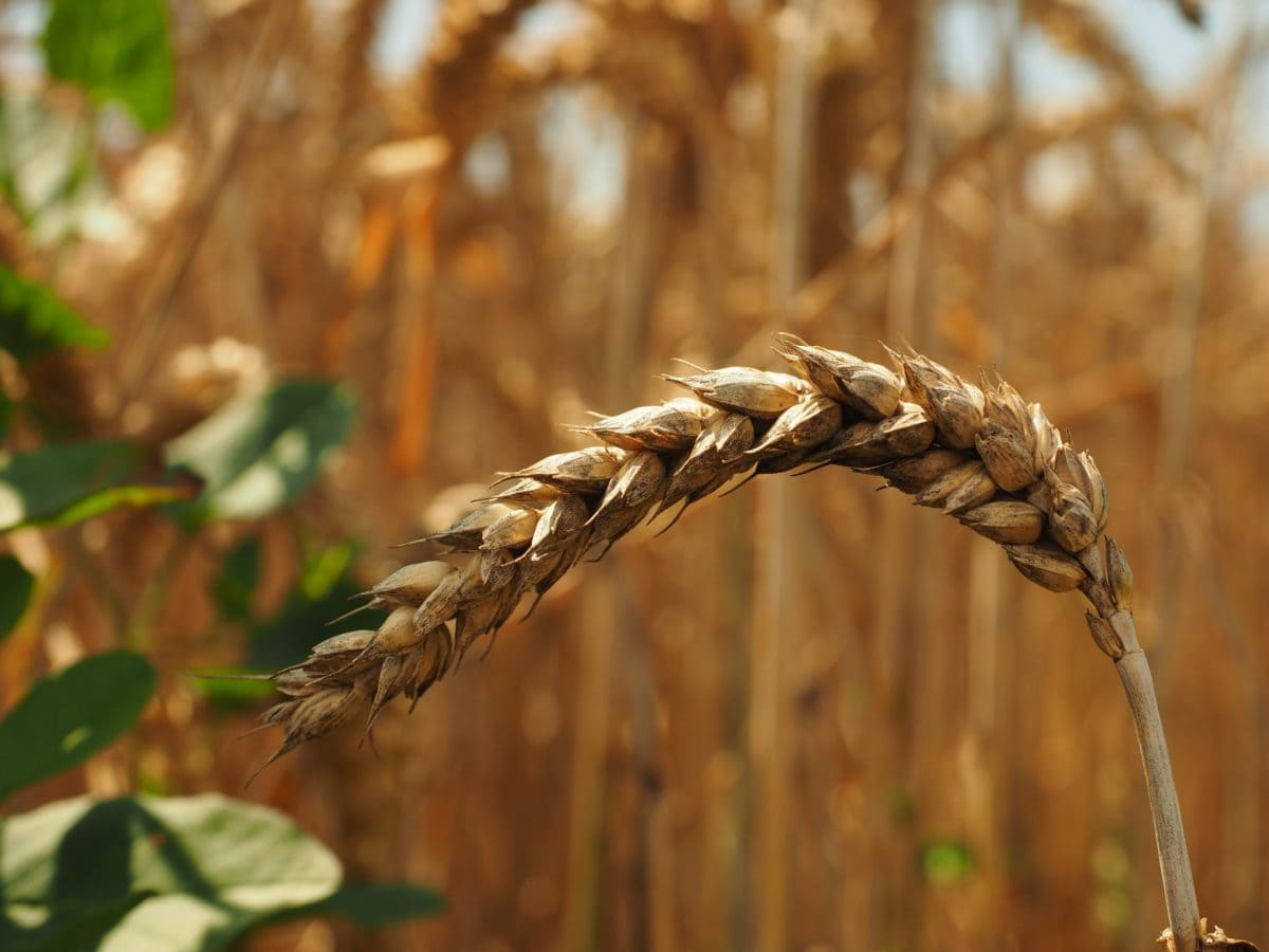 cereal, straw, agriculture, rye, field, tree, outdoor