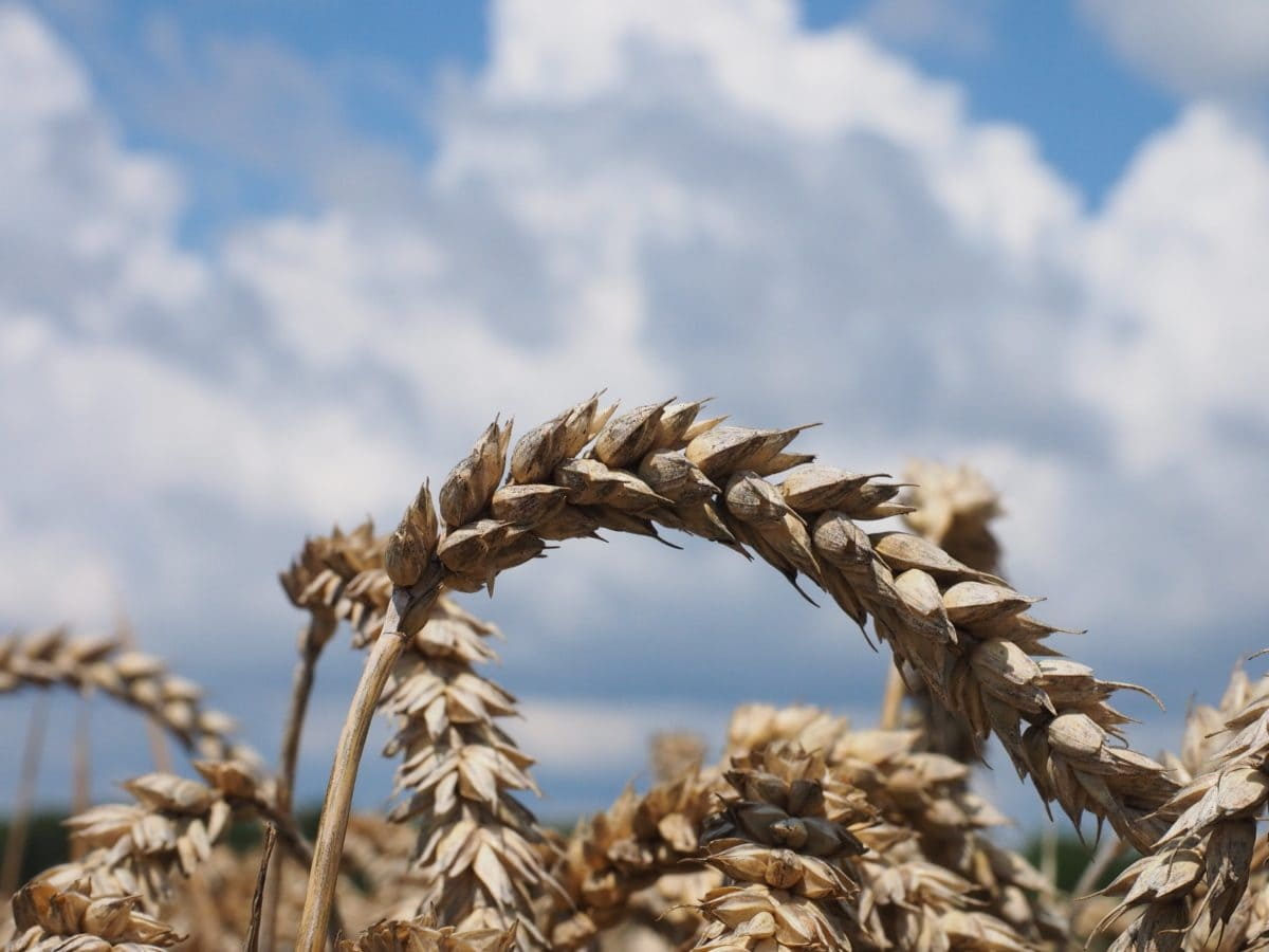 straw, nature, farmland, cereal, dry, blue sky, field, agriculture
