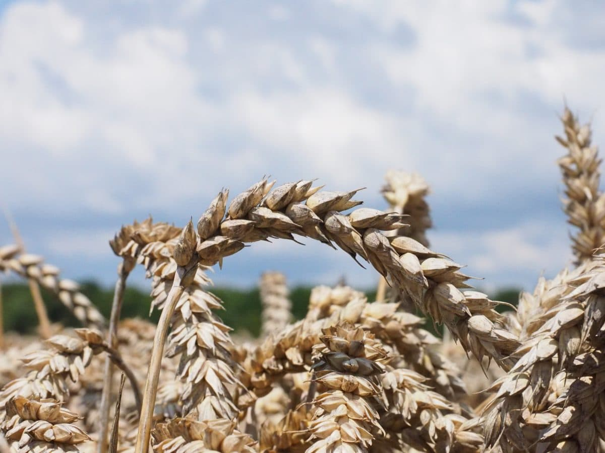 blue sky, agriculture, straw, nature, dry, cereal, seed, rye