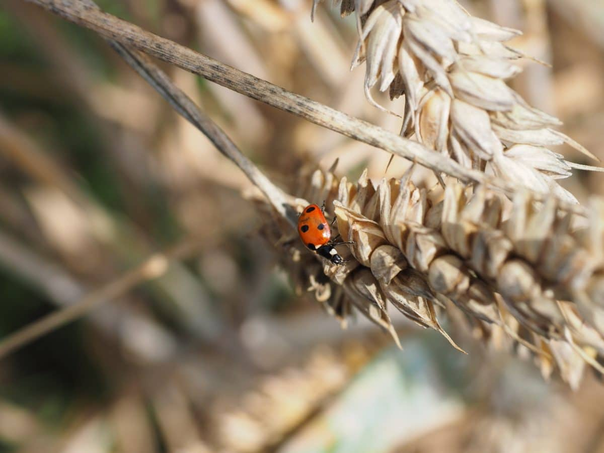 beetle, ladybug, nature, insect, arthropod, invertebrate, metamorphosis, zoology, herb