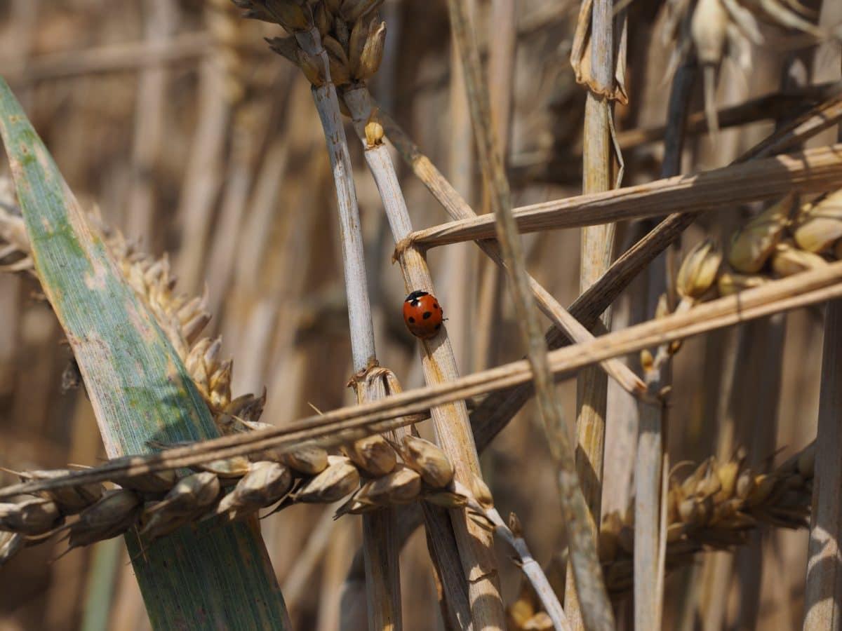 nature, ladybug, insect, beetle, ecology, zoology, arthropod, invertebrate