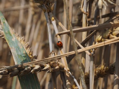 nature, ladybug, insect, beetle, ecology, zoology, arthropod, invertebrate