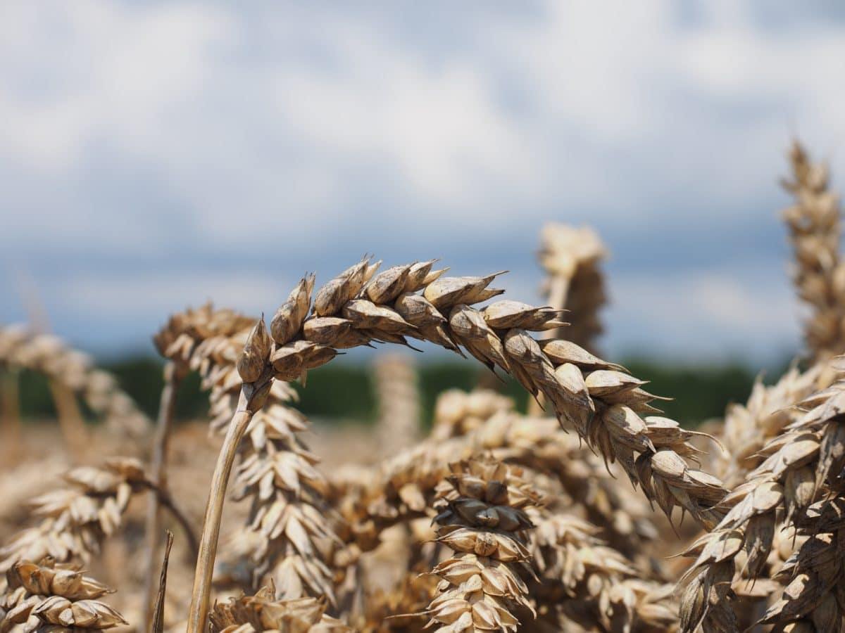 blue sky, outdoor, straw, cereal, nature, barley, field, agriculture