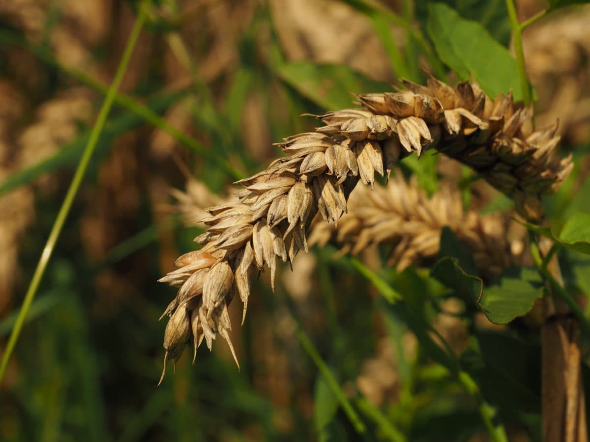 cereal, nature, agriculture, leaf, plant, field, seed, outdoor