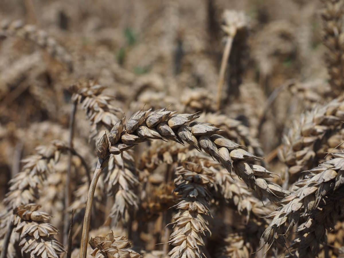 straw, seed, outdoor, nature, cereal, field, rye, agriculture
