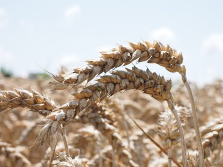 agriculture, straw, rye, barley, nature, spike, seed, cereal
