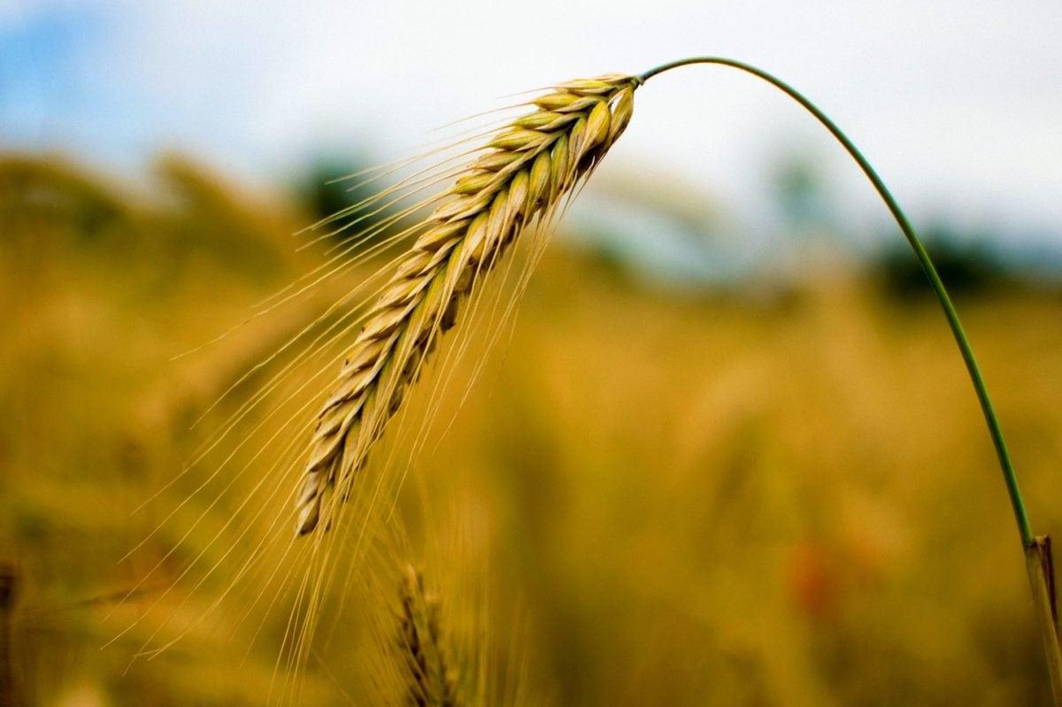 barley, rye, cereal, farmland, kernel, agriculture, straw, sunshine, seed, field