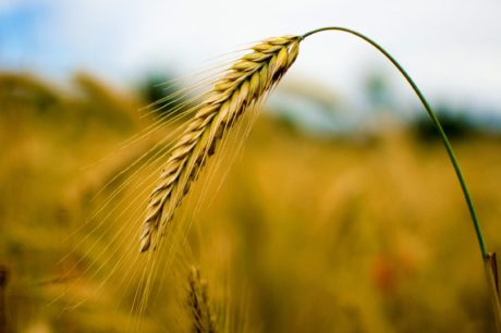 barley, rye, cereal, farmland, kernel, agriculture, straw, sunshine, seed, field