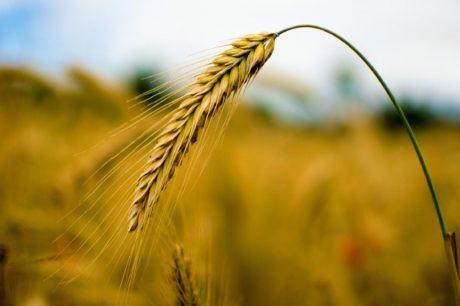 cebada, centeno, cereal, tierras de labrantío, núcleo, agricultura, paja, sol, semilla, campo