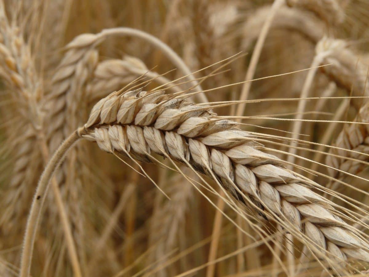 seed, barley, agriculture, farmland, herb, straw, cereal, rye