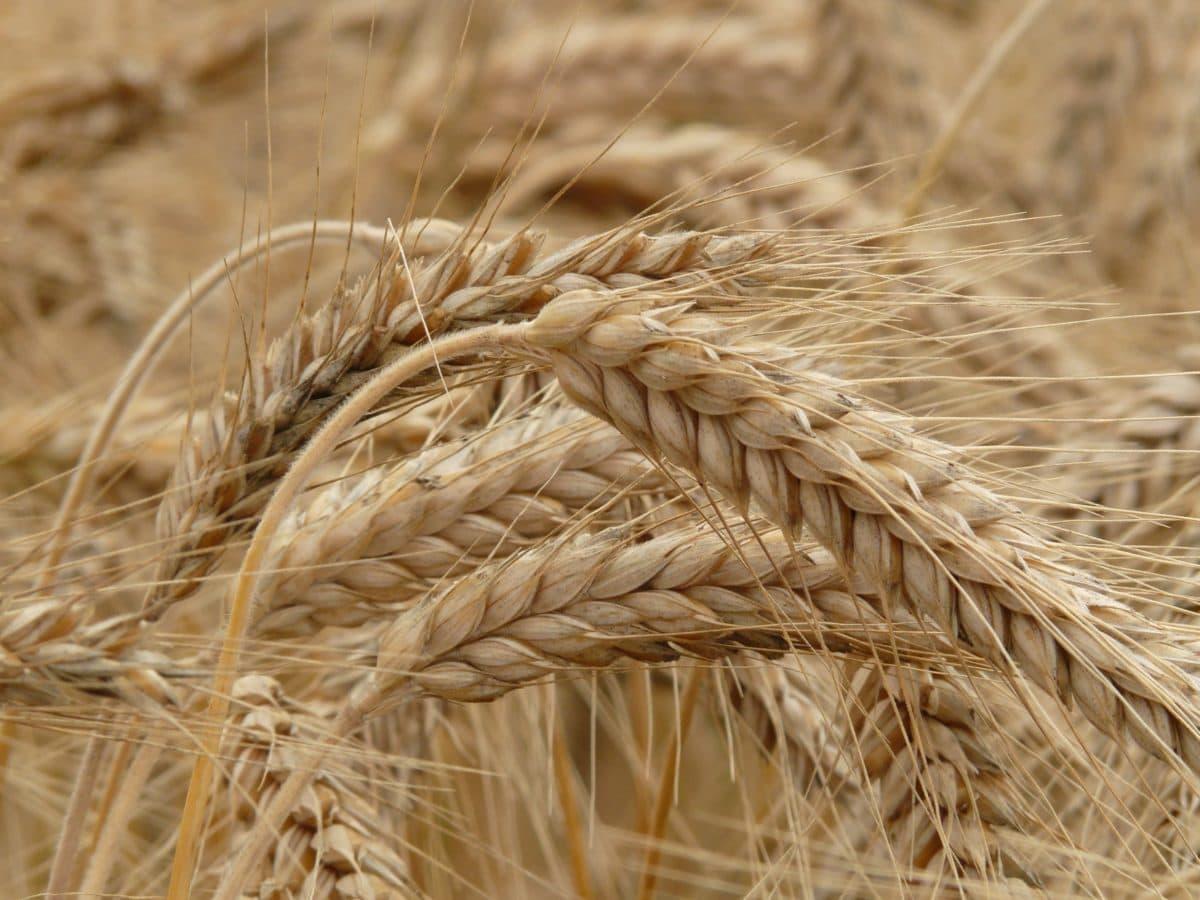 barley, seed, farmland, rye, straw, flour, cereal, agriculture, field