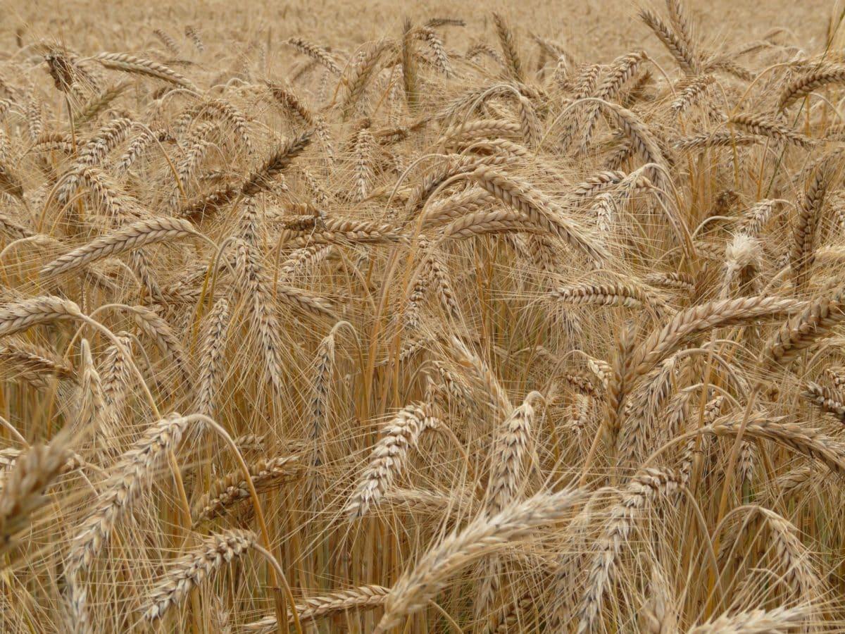seed, barley, straw, farmland, cereal, rye, herb, field, agriculture