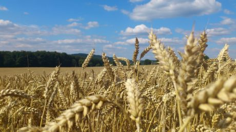 blue sky, outdoor, agriculture, rye, field, cereal, straw