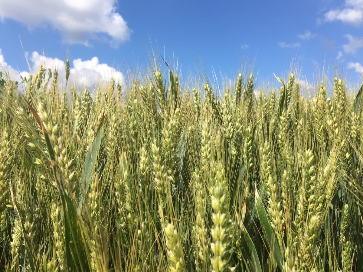 straw, countryside, agriculture, field, rye, cereal, blue sky