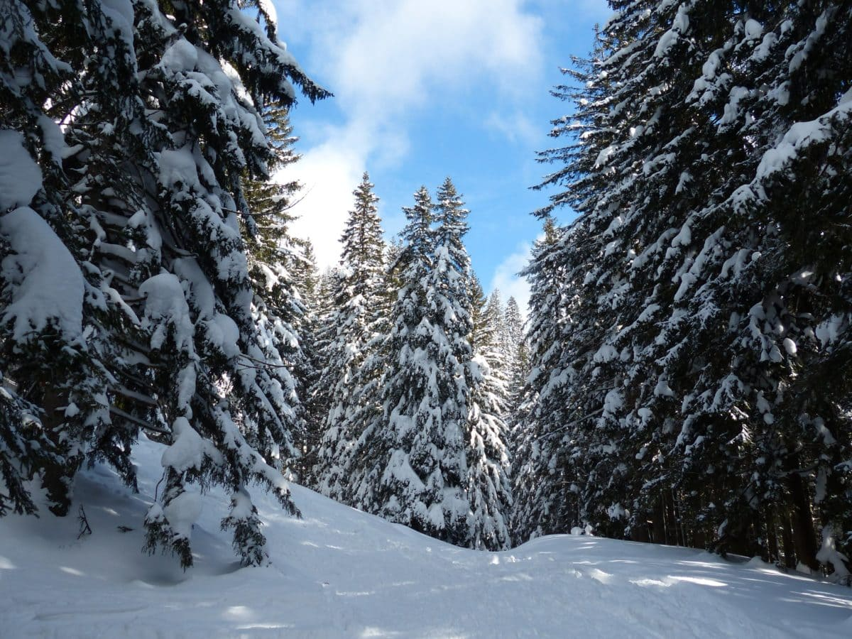 tree, winter, frost, forest, conifer, wood, ice, evergreen, snow, frozen, cold