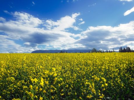 blue sky, countryside, cloud, landscape, agriculture, field, flower, nature
