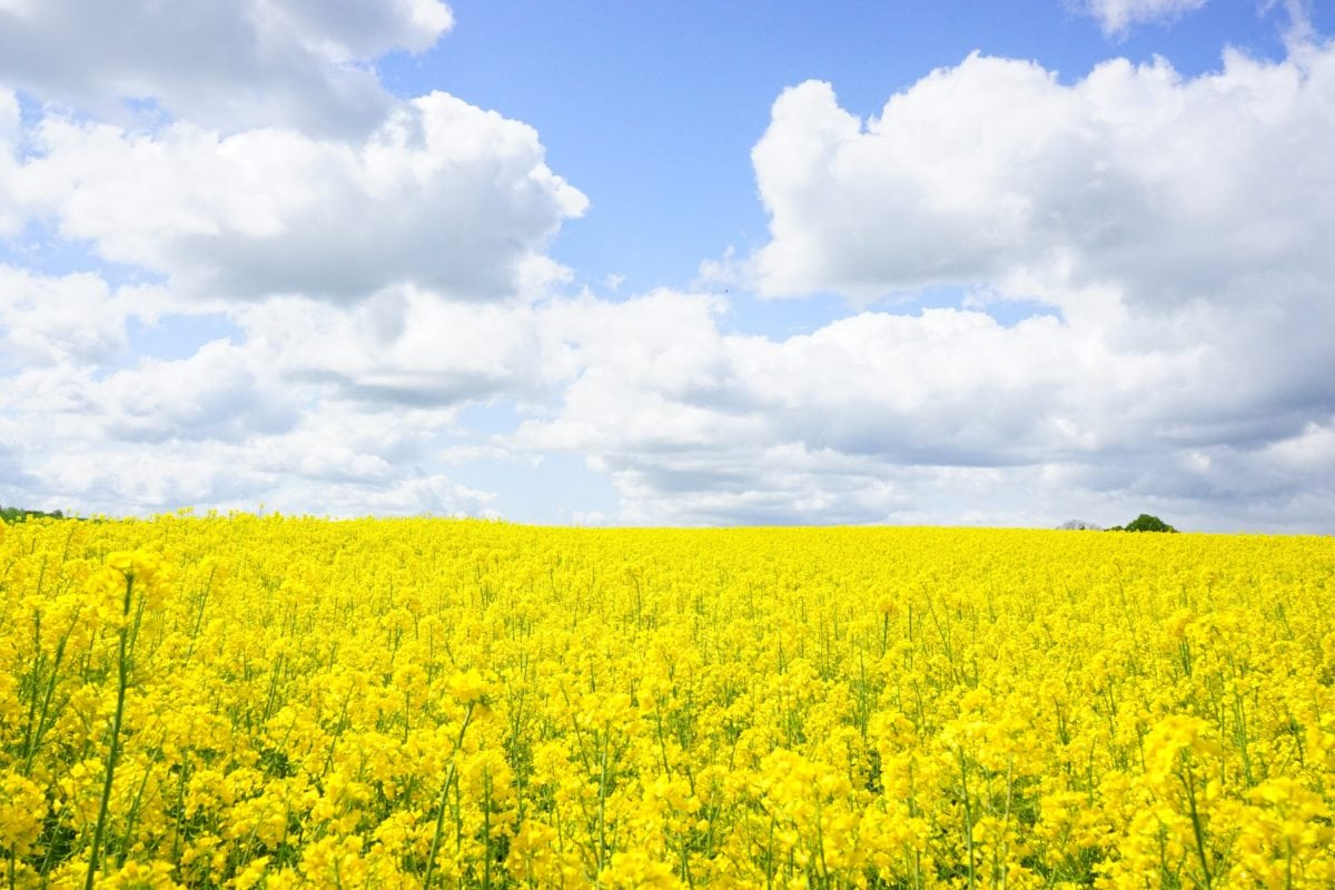landscape, countryside, nature, field, yellow flower, agriculture