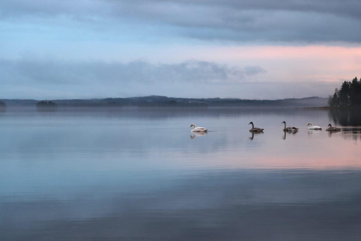 lake, white swan, water, reflection, ocean, sea, sky, beach, sunset, landscape