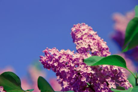 tree, nature, summer, lilac flower, branch, leaf, beautiful, garden