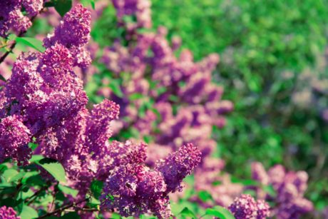 summer, nature, garden, leaf, flower, purple lilac, plant