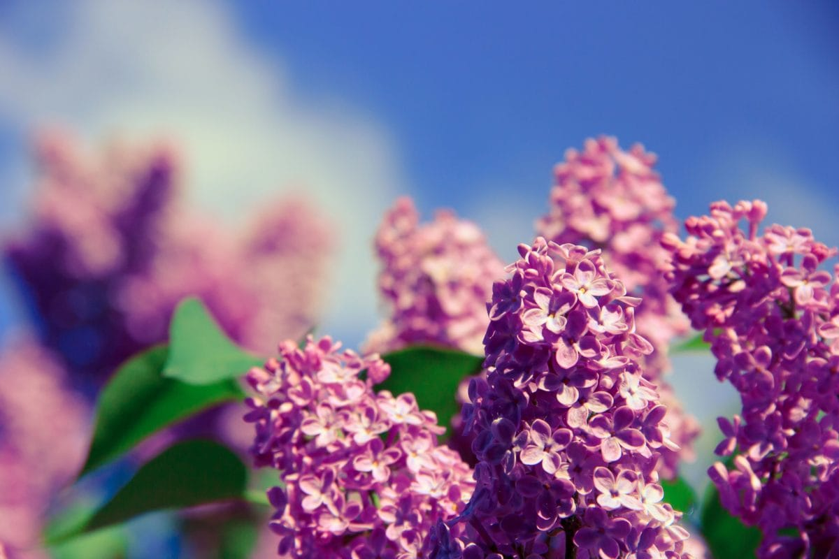 leaf, flower, garden, summer, nature, purple lilac, plant, blue sky