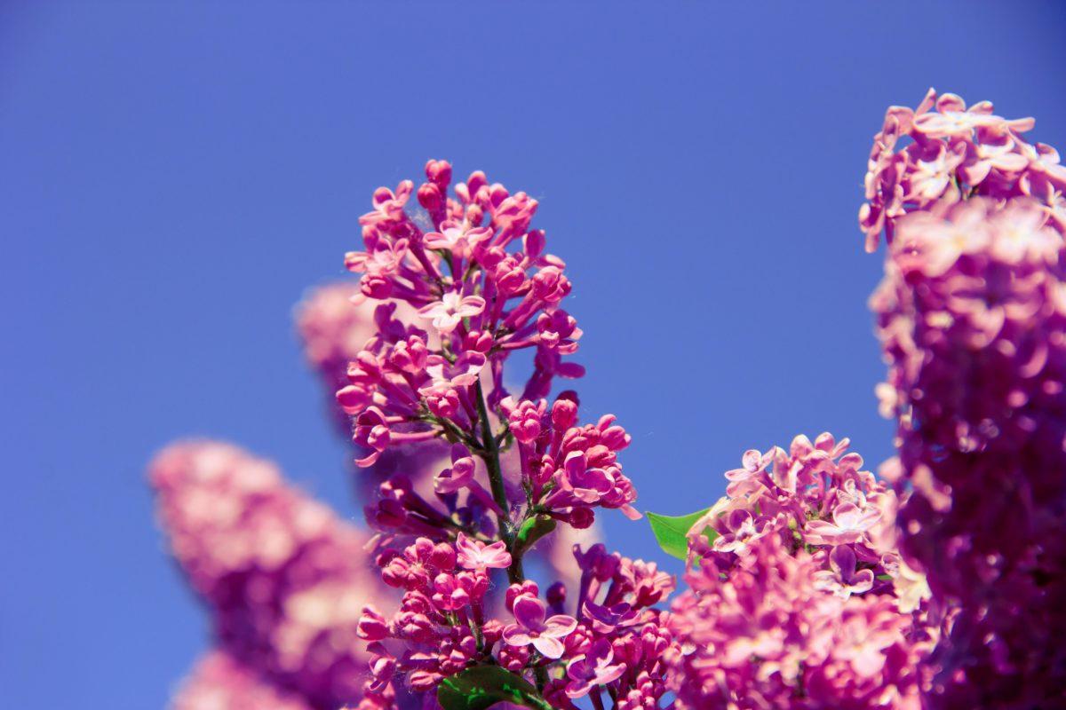 natur, löv, sommar, blomma, lila lila, rosa, blomma, växt, blå himmel