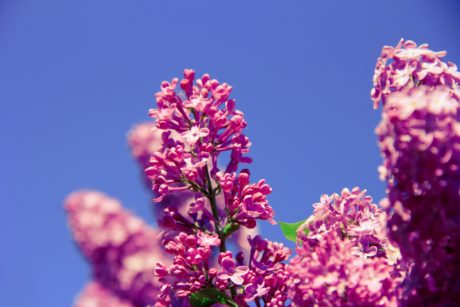 nature, leaf, summer, flower, purple lilac, pink, blossom, plant, blue sky