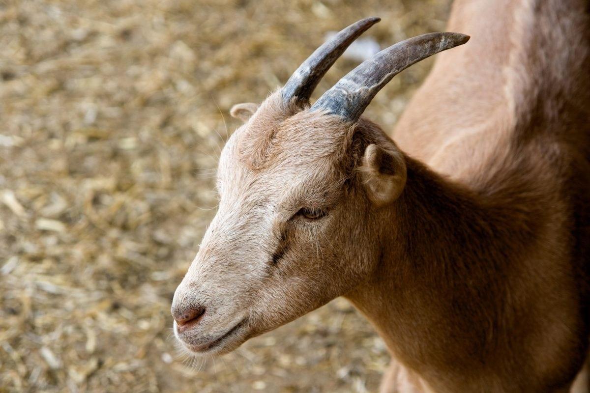 chèvre, fourrure, animal, bétail, animal, extérieur, klaxon