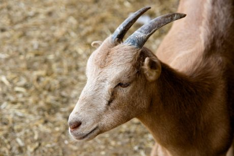 goat, fur, animal, livestock, animal, outdoor, horn