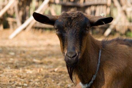 animal, outdoor, brown goat, fur, animal, livestock, barn