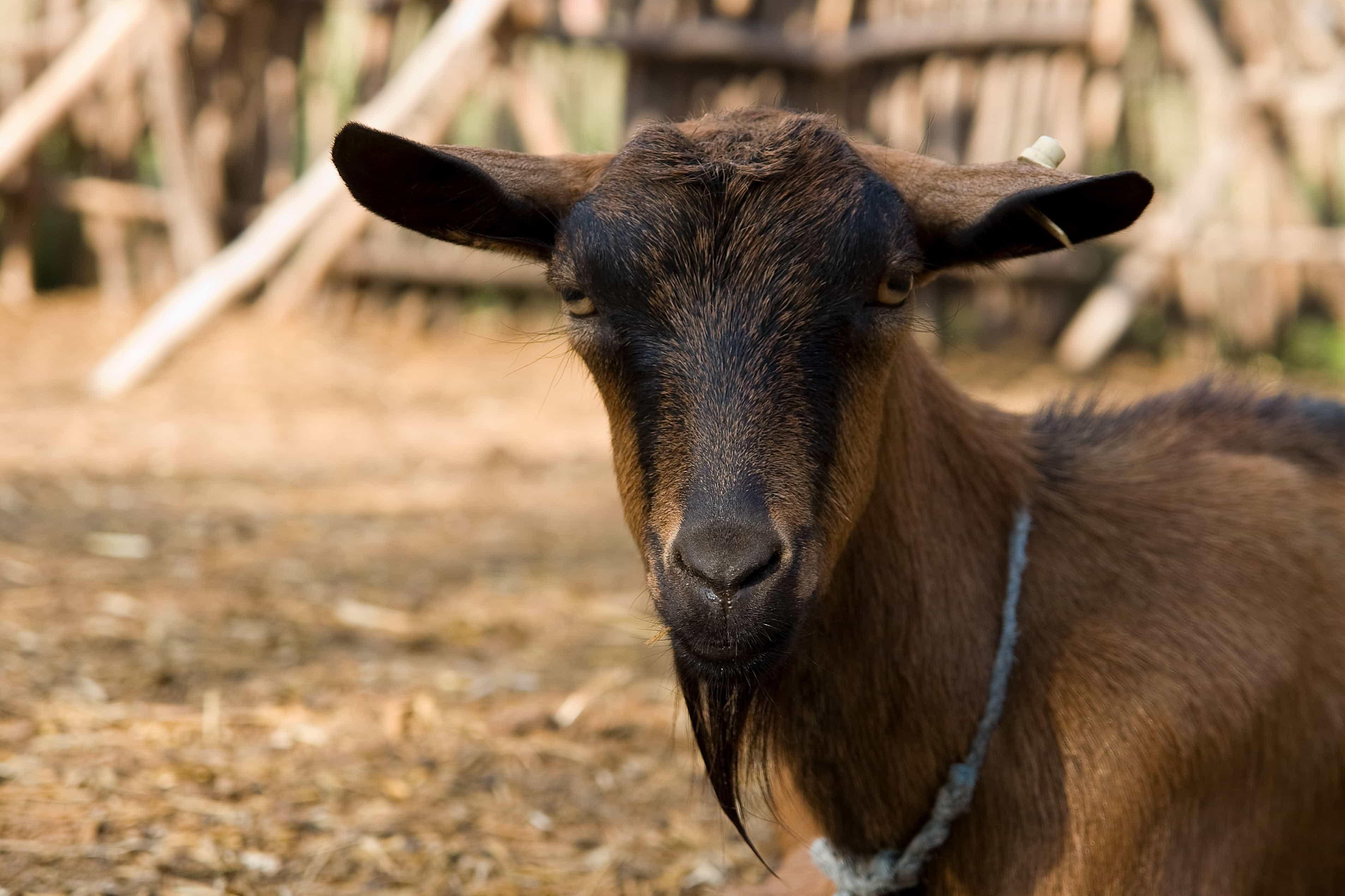 Gambar gratis: hewan, kambing outdoor, coklat, bulu, hewan