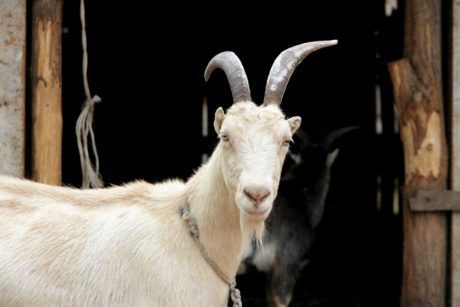 white goat, horn, fur, animal, livestock, barn