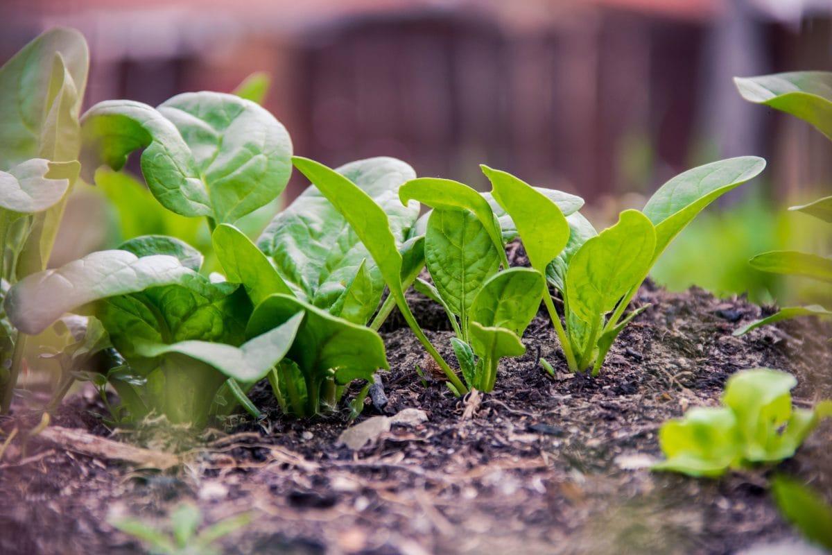 vegetable, agriculture, soil, nature, green leaf, garden