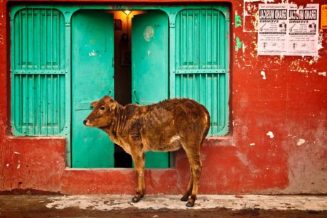 calf, cow, animal, young, cattle, front door, entrance, street, facade