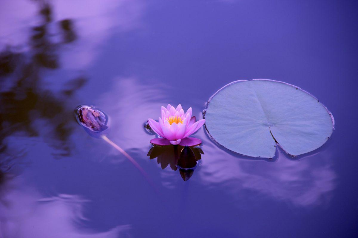 kwiat, natura, Lotos, roślin wodnych, kwiat