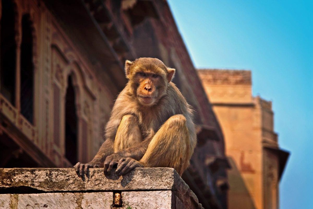 singe brun, primate, singe, faune, bâtiment, ciel bleu