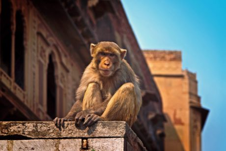 brown monkey, primate, ape, wildlife, building, blue sky