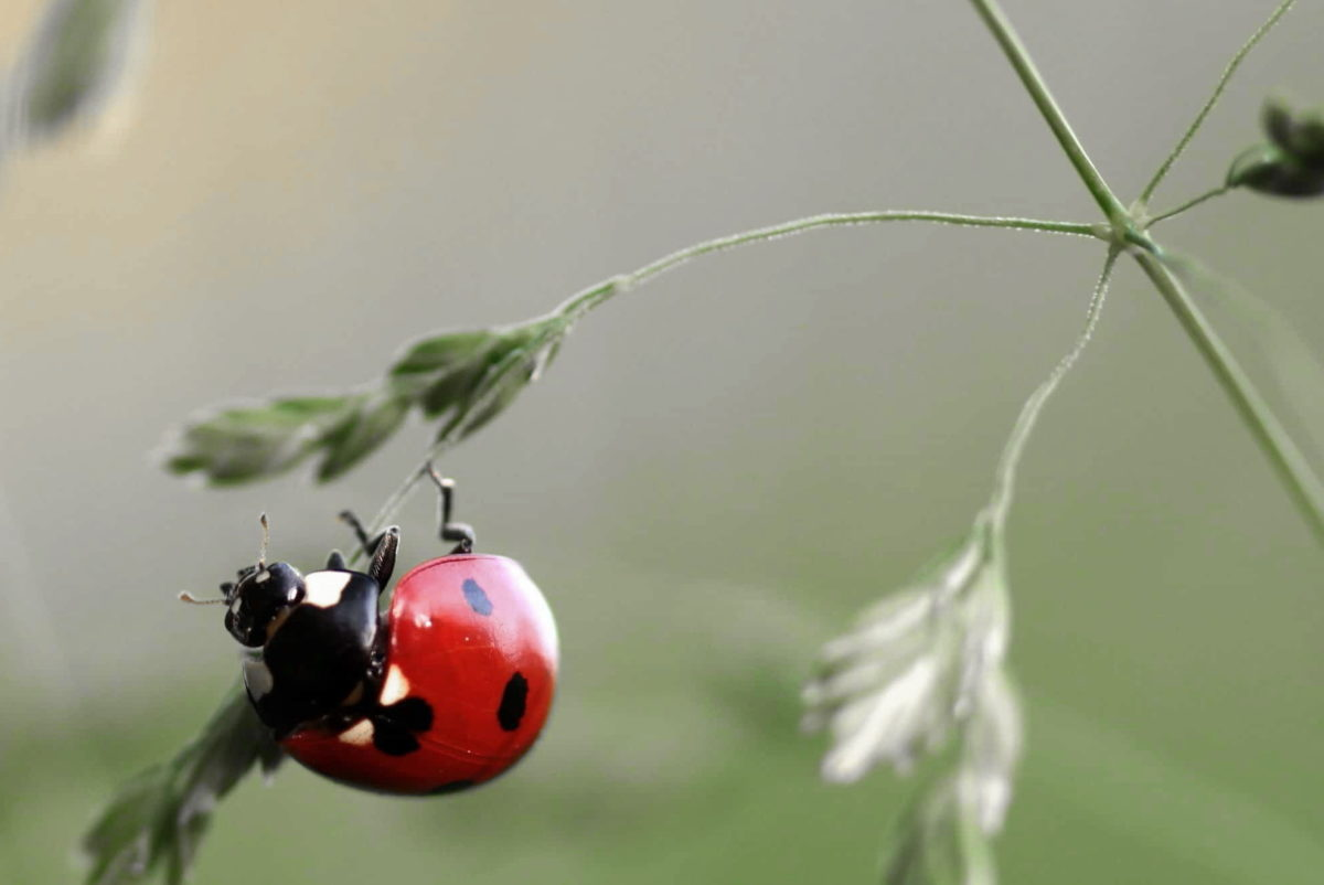 nature, zoology, ladybug, beetle, insect, biology, wildlife