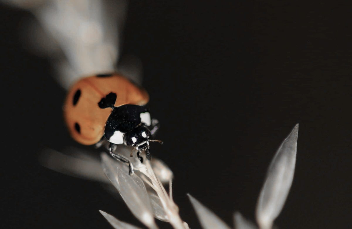 ladybug, insect, biology, beetle, nature, arthropod, bug, green leaf