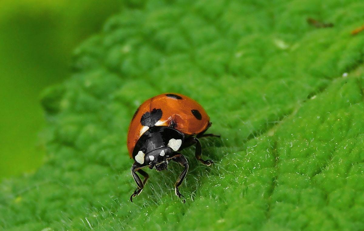 έντομο, σκαθάρι, φύση, πράσινο φύλλο, πασχαλίτσα, αρθρόποδα, bug, φυτό
