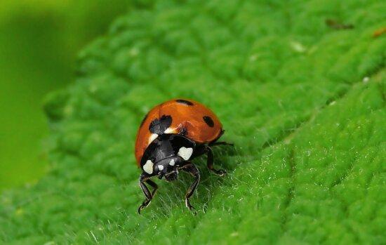 Insekt, Käfer, Natur, grünes Blatt, Ladybug, Arthropod, Bug, Pflanze