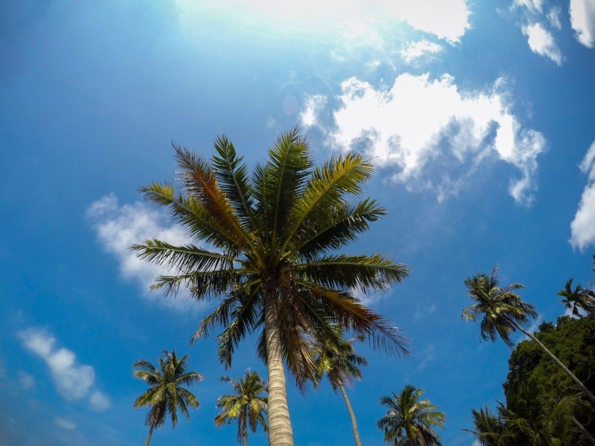 blue sky, sun, tree, palm tree, beach, coconut, paradise, summer