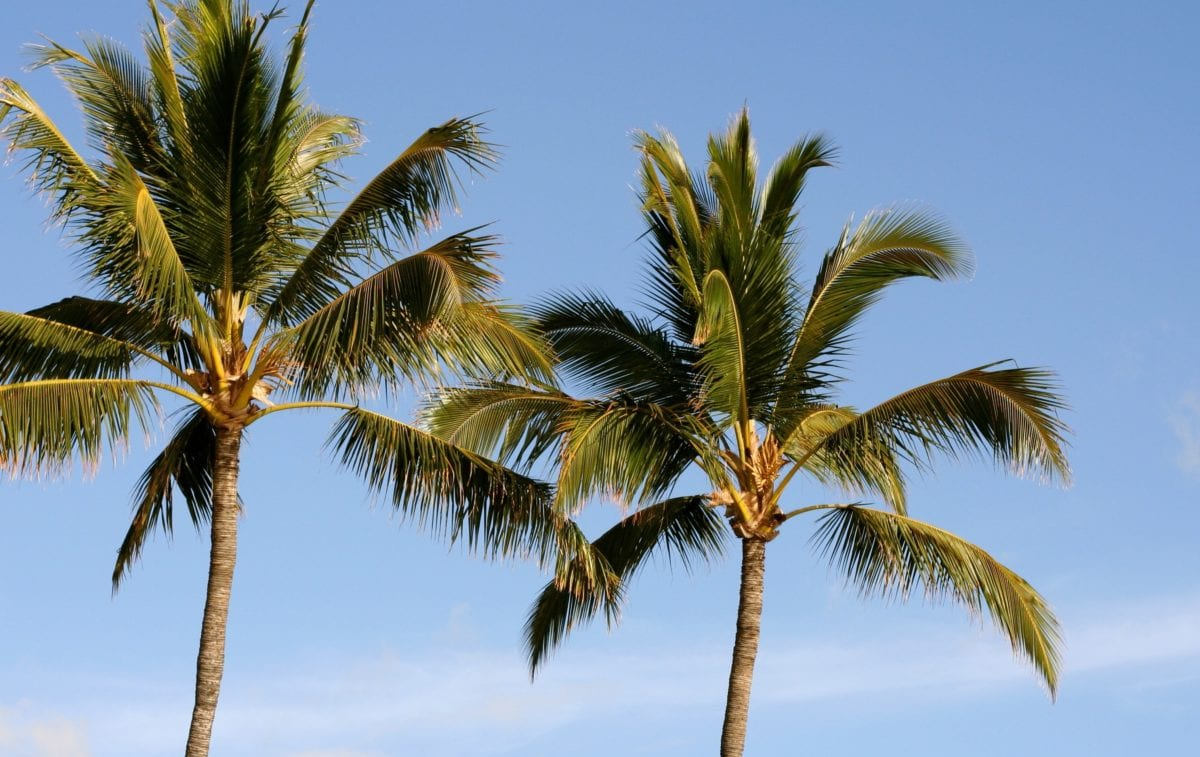 coconut, beach, palm tree, sun, exotic, sand, summer, paradise