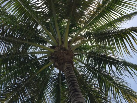 beach, palm tree, coconut, summer, nature, plant, outdoor