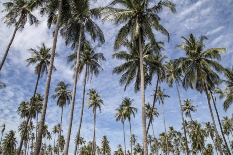 coconut, palm tree, island, tree, blue sky, forest